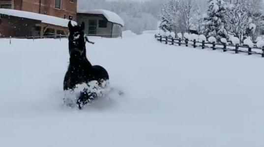 ძალიან ღრმა თოვლში ჯიშიანი ცხენები ერთობიან