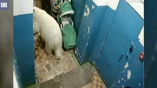 გამაოგნებელი ვიდეო კადრები რუსეთიდან, სადა პოლარული დათვი კორპუსის სადარბაზოში დასეირნობს