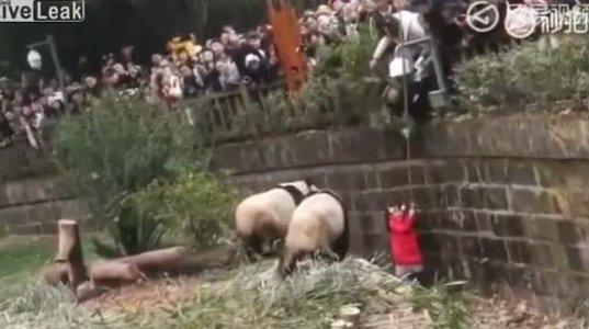 8 წლის გოგონა სასწაულად გადაარჩინეს,რომელიც ზოოპარკში დათვებთან ჩავარდა(ჩინეთი)