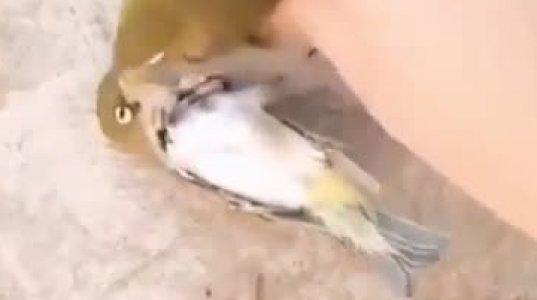 ერთადერთი  ჩიტი  დედამიწაზე, რომლის  წყვილი ერთად  კვდება