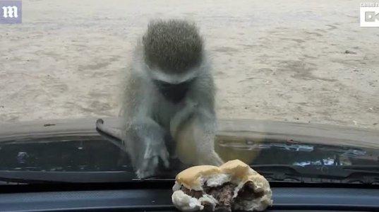 ბურგერის მოპოვება სურს მაიმუნს და რა ქნას