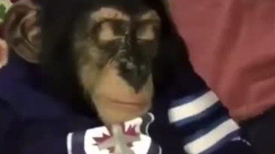 მაიმუნი დააბოლეს