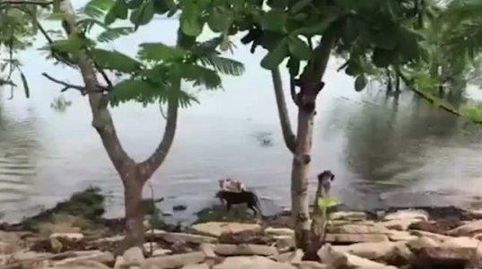 როგორ ჩუმად მიეპარა ნიანგი ძაღლებს
