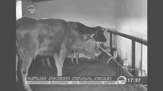 """ქუთაისში როგორც ჩანს ძროხებიც კი """"ქურდული კანონებით"""" ცხოვრობენ"""