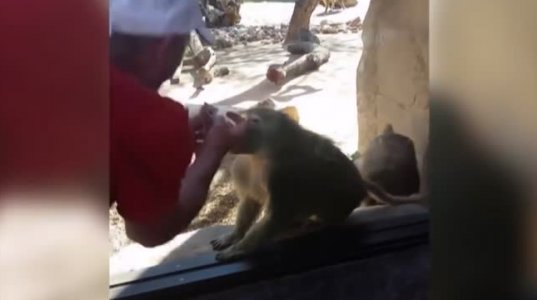 მაიმუნი გააგიჟა ფოკუსმა