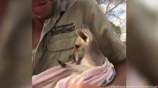 საყვარელი ცხოველია კენგურუ