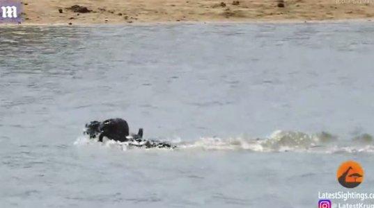 ლომების გარემოცვაში მოხვედრილი ბეჰემოტი მდინარეში ჩახტა და იქ უარესი - ნიანგი დახვდა
