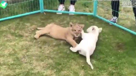 ალბინოსი ლომი ნახეთ