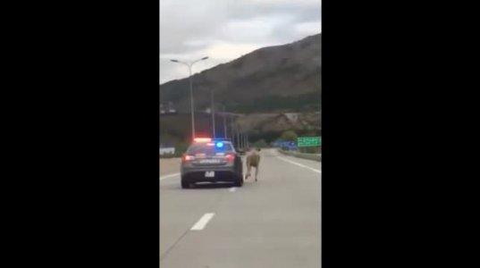ზე სახალისო ვიდეო - პატრული VS ძროხა