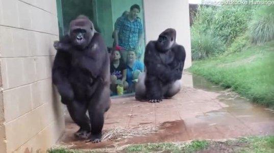 გორილების ოჯახის სასწაული ვიდეო