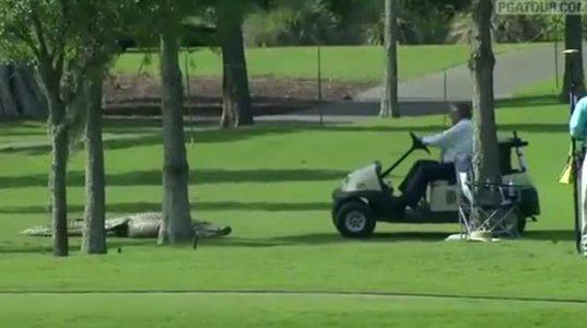 ნახეთ უზარმაზარი სამფეხა ნიანგი გოლფის სტადიონზე