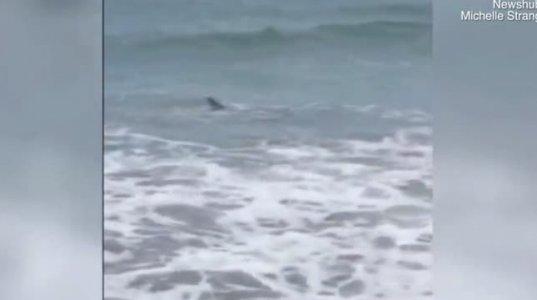ორი ზვიგენი  ნახეთ როგორ ცდილობენ აღელვებული ტალღებიდან გამოსვლას