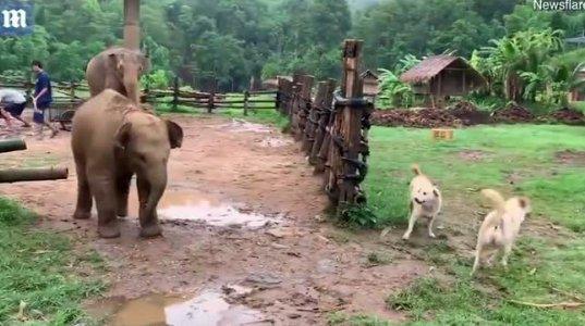 ნახეთ ძაღლებმა როგორ შეაშინეს პატარა სპილო