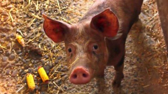 არაბები და ებრაელები რატომ არ ჭამენ ღორის ხორცს
