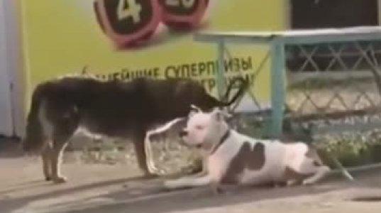 ნოვოროსიისკში მაწანწალა ძაღლმა სუპერმარკეტთან პატრონის მიერ დაბმული ძაღლი აუშვა და სასეირნოდ წაიყვანა