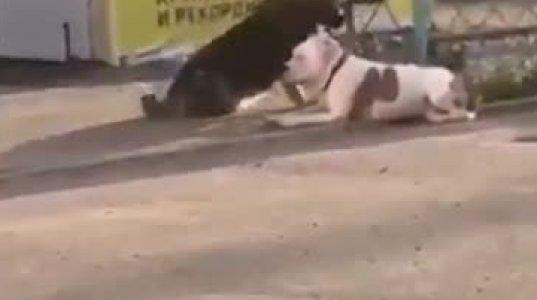 ძაღლი დაეხმარა მეორე ძაღლს