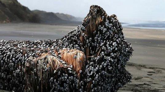 ეს მატლებიანი ურჩხული ახალ ზელანდიაში ზღვის სანაპიროზე იპოვეს