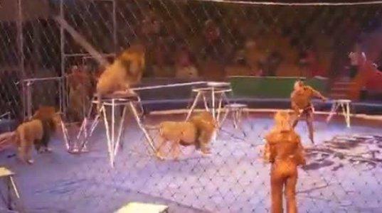 ლომებმა მომთვინიერებელი კინაღამ დაგლიჯეს - თავდასხმა ცირკის არენაზე