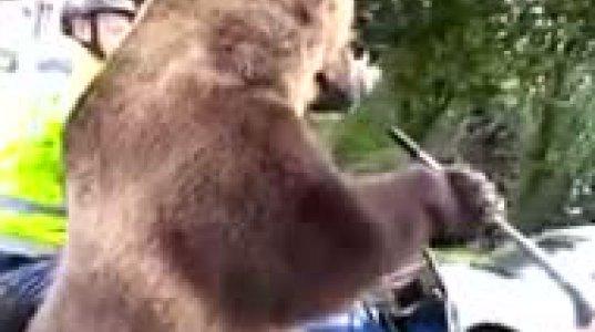 """როცა საჭესთან ხარ და """"აბგონზე"""" დათვი გადის,ისიც მანქანით..."""