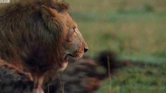 ლომი გიენების წინააღმდეგ