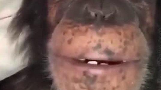 შიმპანზე და საღეჭი რეზინა