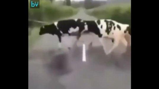 ოხ რა საშიშია თეთრი ხაზი გზაზე, სახალისო ვიდეო განწყობისათვის