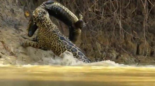დიდებული კადრები, როგორ ნადირობს იაგუარი წყალში კაიმანზე