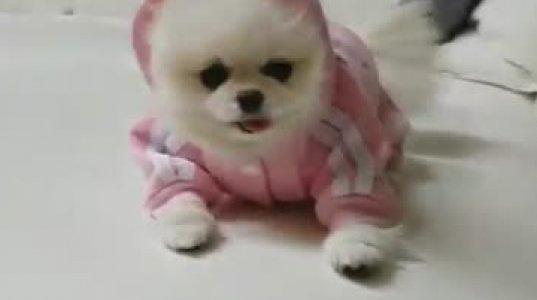 ჯაშუში ძაღლი