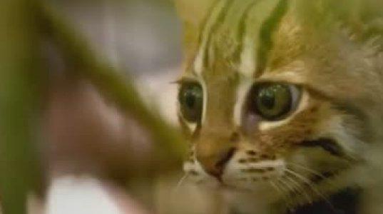 ყველაზე პატარა გარეული კატა მსოფლიოში,რომელიც 1 კილოგრამს იწონის ცხოვრობს ინდოეთის და შრი-ლანკას ტყეებში