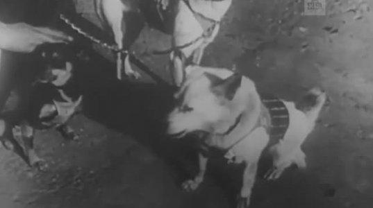 """საბრალო """"ლაიკა"""" ანუ როგორ გაწირეს საბჭოთა მეცნიერებმა საბრალო ძაღლი ექსპერიმენტისათვის"""