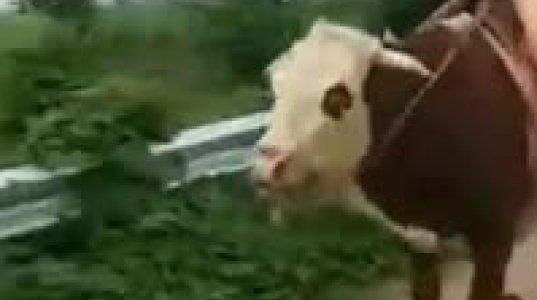 ძროხას შემოახტა და გააჭენა
