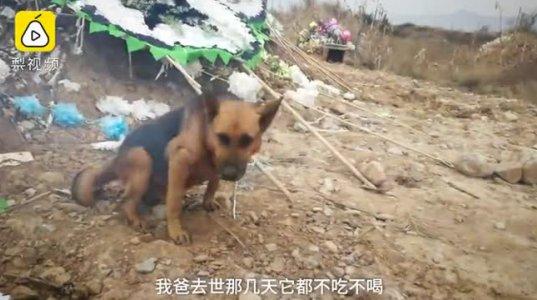 ჩინეთში ძაღლს პატრონის საფლავის ამოთხრა სურდა
