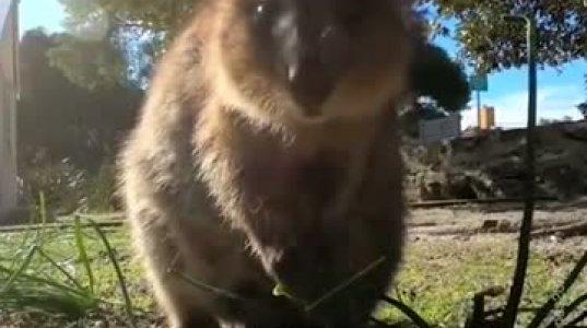ქუოკა- ყოველთვის მომღიმარი და ყველაზე საყვარელი ცხოველი დედამიწის ზურგზე