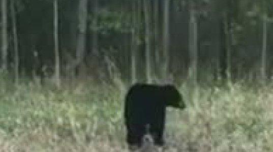 თახვი დათვთან უთანასწორო ბრძოლაში  ჩაება და საკუთარმა ამპარტავნობამ იმსხვერპლა (ჩრდილოეთ ალბერტა,კანადა)