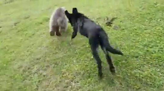 ზე პოზიტიური ვიდეო. მოშინაურებული დათვის ბელი დარბის და თამაშობს ოჯახთან ერთად.