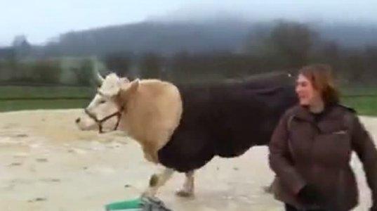 სპორტული ცხენი გამიგონია და მინახავს, მაგრამ ბარიერებზე მხტუნავი ხარი პირველად ვნახე
