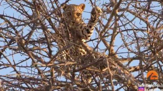 ლომის წარუმატებელი ნადირობა ლეოპარდზე(კრუგერის პარკი,სამხრეთ აფრიკა)