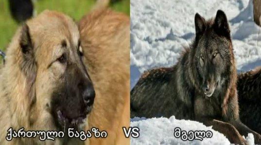 მგელი ქართული ნაგაზის წინააღმდეგ-ცხოველთა შერკინება