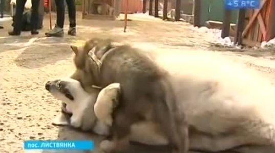 მგელს და მალამუტს ზოოპარკში შვილი შეეძინათ