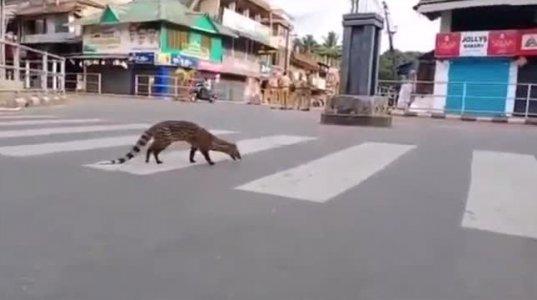 ინდოეთის ქუჩებში მისკის სახეობის კატა 1990 წლის შემდეგ პირველად გამოჩნდა