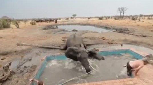 აუზში ჩავარდნილი სპლიყვის დასაცავად სპილო ადამიანებს აუზში მიეჭრა
