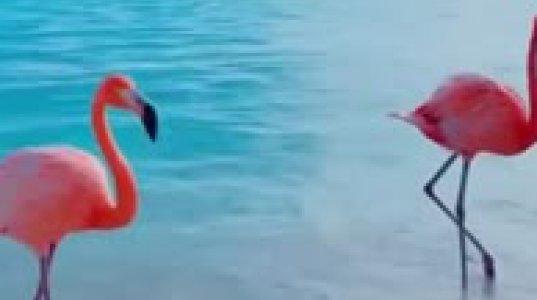 ვარდისფერი  ფლამინგოები საოცრად  ლამაზი ბუნების   ფონზე