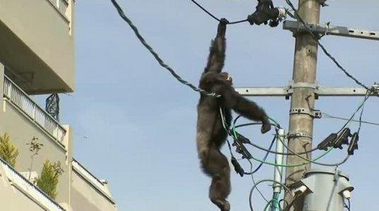 დენის ანძაზე ამძვრალი მაიმუნი დამაძინებელი ნემსით დაიჭირეს