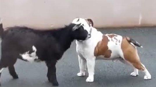 ციკანი ძაღლს ეთამაშება