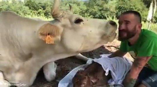 მადლიერი ძროხა