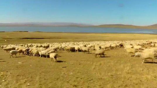 ცხვრის ექსპორტის ღირებულება 6-ჯერ, 4.5 მლნ აშშ დოლარით გაიზარდა