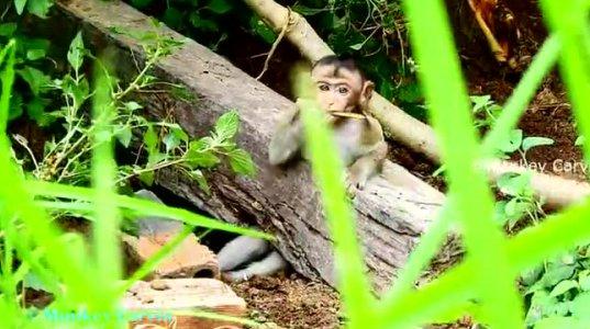 ხეში გაჭედილი მაიმუნი ლეკვმა გადაარჩინა (ვინც  ამას  იღებდა კი სადისტია  ჩემი აზრით. დატანჯა  მაიმუნი)