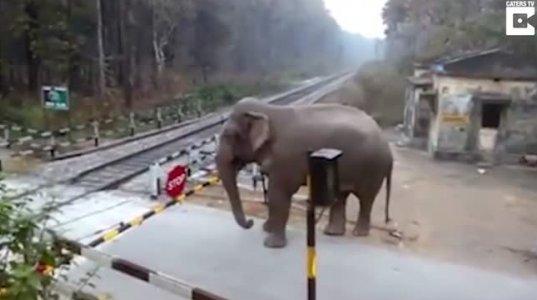 გამეპარა გული ნერვიულობით- სპილოს რკინიგზაზე გადასვლა  უნდა  და ჩამოკეტილ ბარიერში  ახერხებს  გადასვლას.