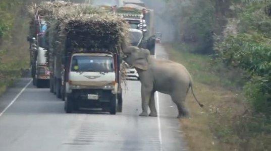 სპილო მანქაენბს აჩერებს და შაქრის ლერწამს იპარავს