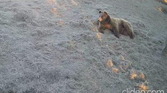 თბილისის ზოოპარკში დათვი კოპალა და მგელი თამაშა ერთმანეთს ეთამაშებიან